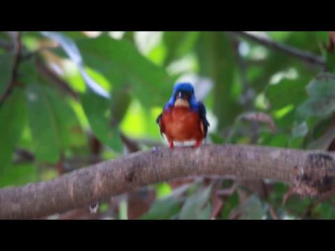Blue Eared Kingfisher Preening