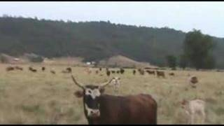 Bad Boy Bucking Bulls - Stock Sale Herd-Cows with calves