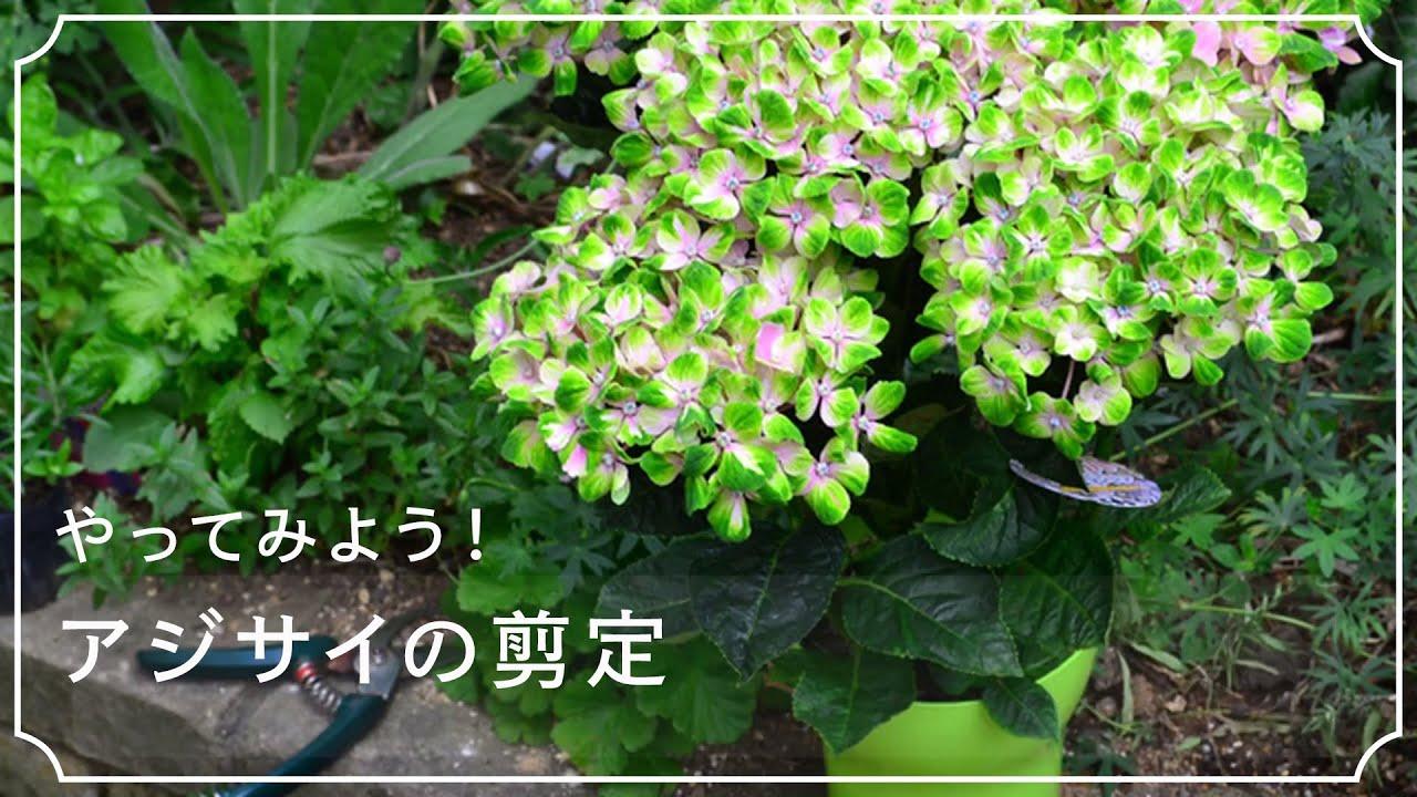 仕方 の 紫陽花 剪定