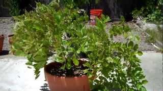 My Wisteria Bonsai: Introduction.mp4