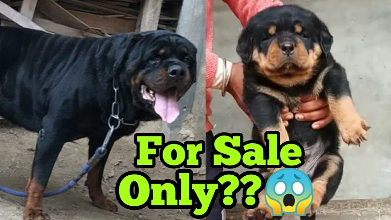 Rottweiler champion Bloodline puppy available for sale | Rottweiler puppy for sale only in 5000/ |