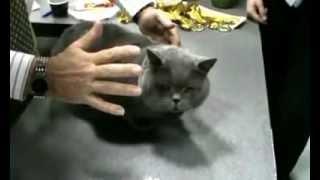 Судейсво британских кошек, питомник ТинАрден