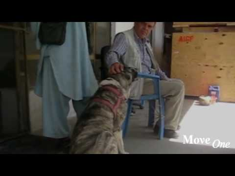 Pet Transportation: The Afghan Tiger Dog
