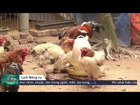 NCKN   HIEU QUA TU MO HINH NUOI GA DONG TAO   27 4   VTV2   15
