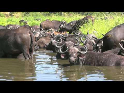 SOUTH AFRICA cape buffaloes, Kruger national park (hd-video)