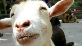 Śmieszne kozy - zabawna filmy kozła. Kompilacja | Nowy, HD