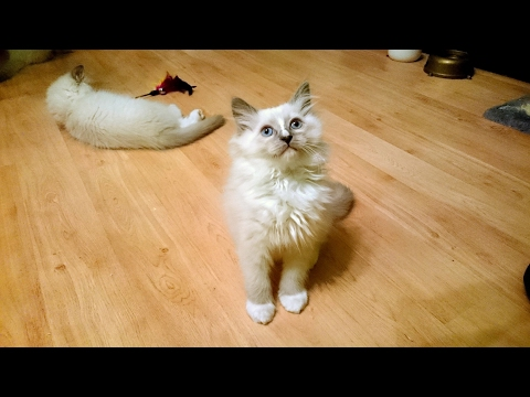 Petty the Ragdoll Kitten- Bringing our Ragdoll Kitten Home