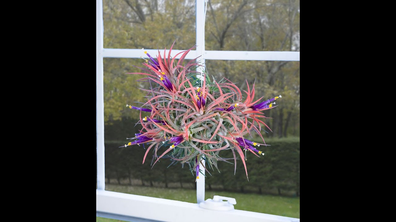 air plants tillandsias the joy and ease of growing air plants youtube. Black Bedroom Furniture Sets. Home Design Ideas