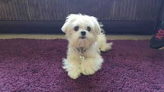 Tigerlilly - Maltese Puppy - 3 Weeks Residential Dog Training