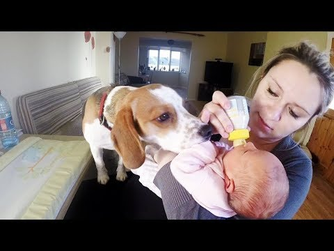 Babysitting Dog Never Had to be Taught How to Love Baby