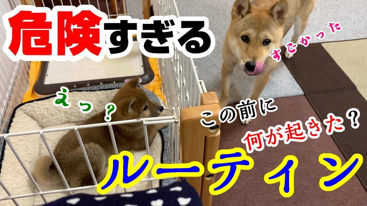 飼い主が心配になるほどの危険すぎるルーティン【子犬の柴犬と先住犬】 - YouTube