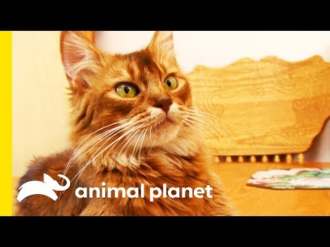This Beautiful Somali Cat Gets A Pampering Session | Cats 101