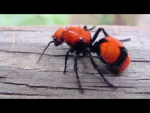 Worst Insect Stings in the World