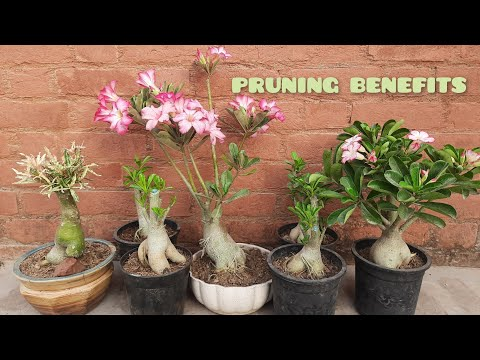 BENEFITS OF ADENIUM