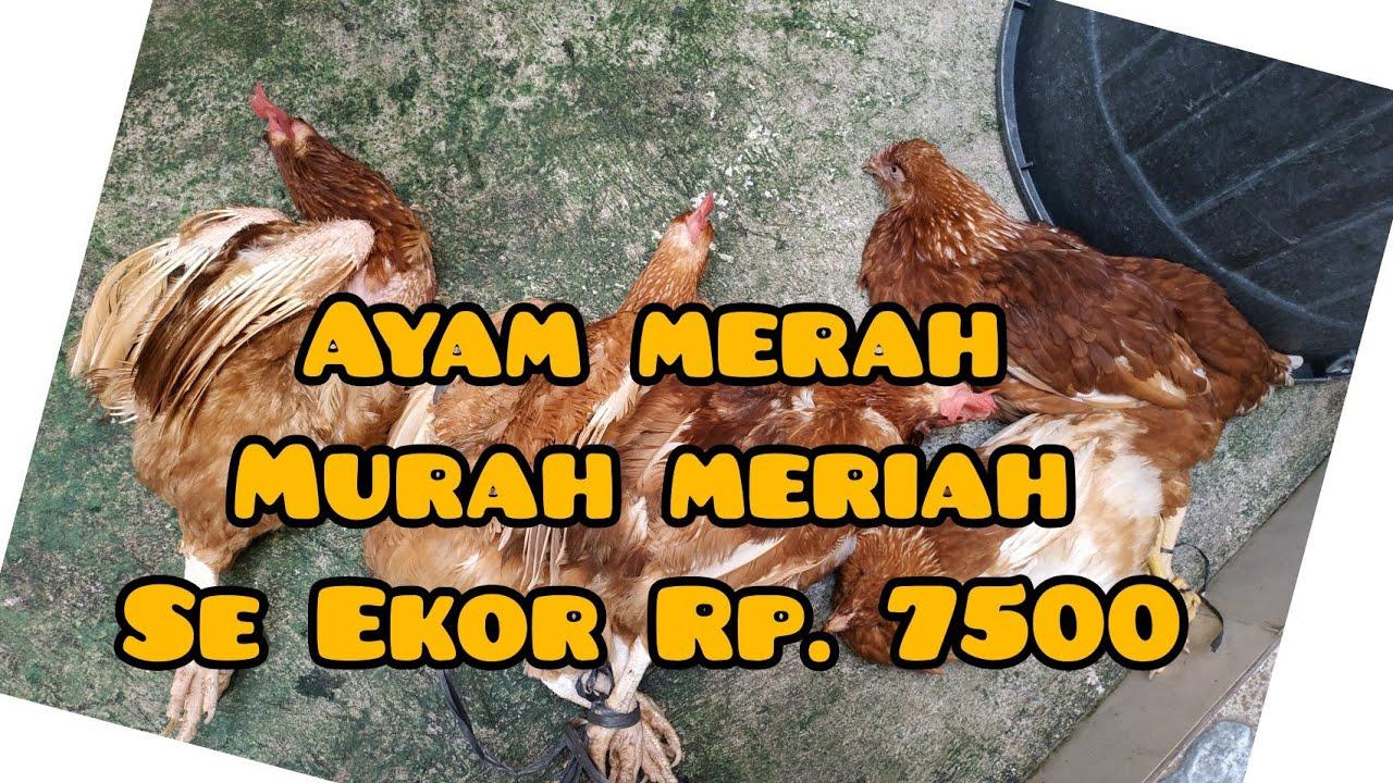 Beli Ayam Petelur Murah 1 Ekor Rp. 7500 - YouTube