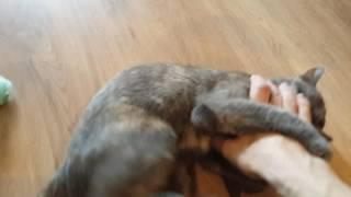 Кошка приносит игрушки, как собака