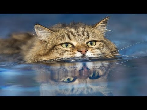 CATS in WATER - funny fails videos FFV