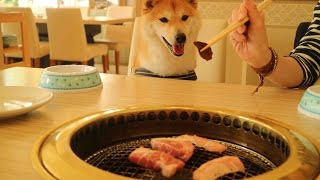 柴犬だいふくのはじめての焼肉 [ Shibainu Daifuku was in barbecue restaurant ]