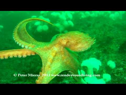 Giant Pacific Octopus swims with diver