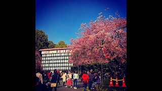 入口は咲いているけど…… 上野恩賜公園の桜 2019.3.21