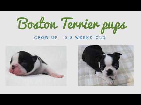 Boston Terrier Puppies Growing Up (0  8 weeks old)