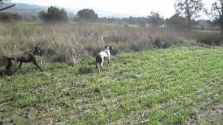 "Brittany ""ekko"" And German Shorthaired Pointer ""rambo"" Pointing Mearns Quail, Perros De Muestra"