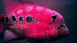 Flowerhorn Pink Fish - Aggressive
