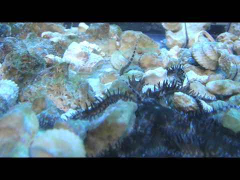 Blunt Spined Brittle Star  Www.ReadyAquatics.com