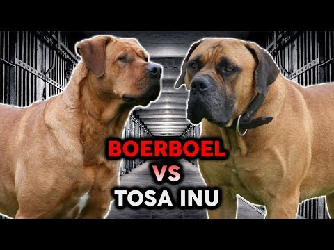 TOSA INU vs BOERBOEL! The Best Guard Dog Breed!