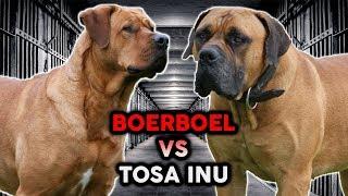 TOSA INU vs BOERBOEL! The Best Guard Dog Breed!