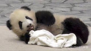 【タオルだいすき!?✨】🐼彩浜ちゃん🌈タオルもふもふ✨【赤ちゃんパンダ】 Giant Panda Baby -Saihin-☆towel✨