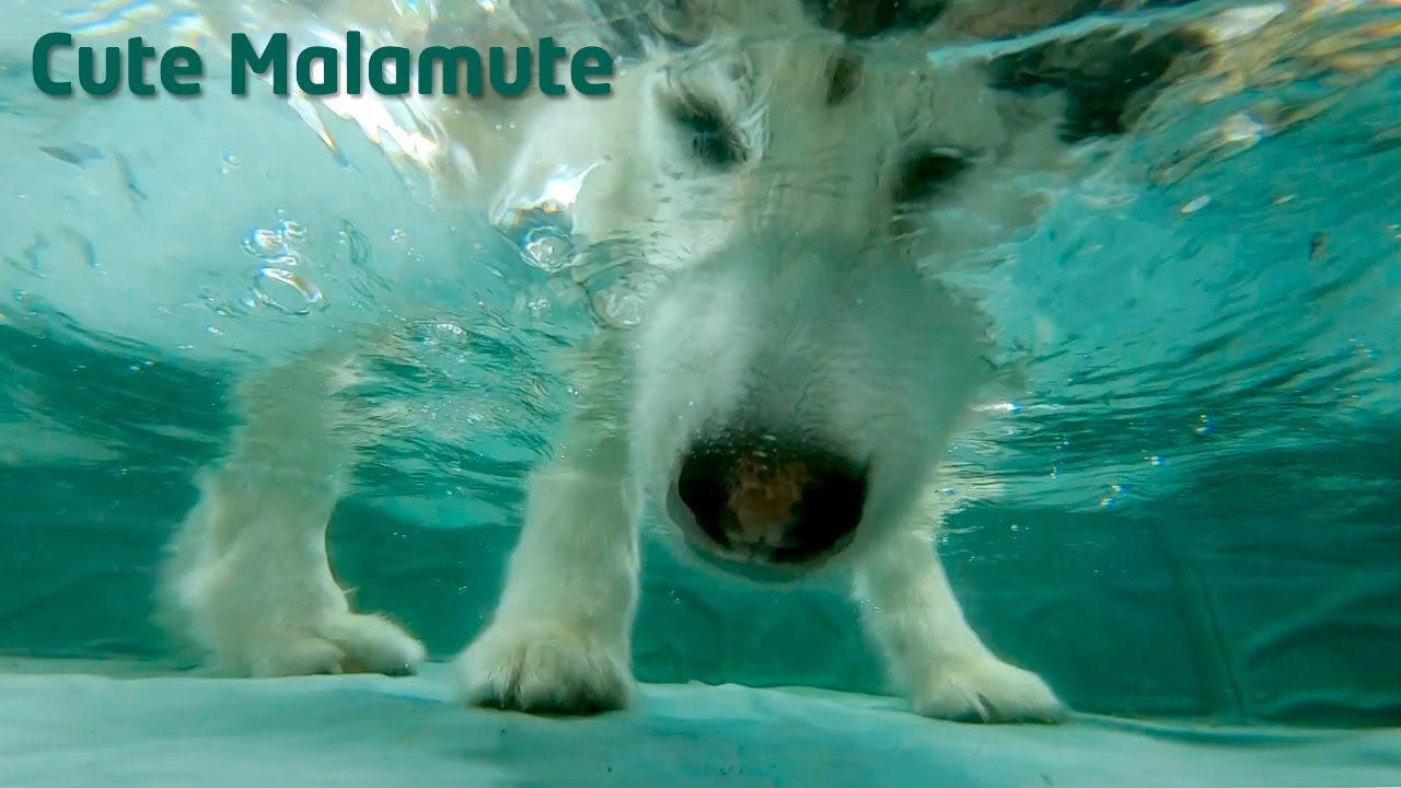 Alaskan Malamute eating under the water