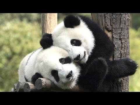 PANDAS PLAYING ★ Funny Panda VIDEOS [Funny Pets]