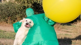 funny-dog-bailey-chub-suit-man-w-giant-balloon-golden-retriever-playing-blows-bubbles-in-water