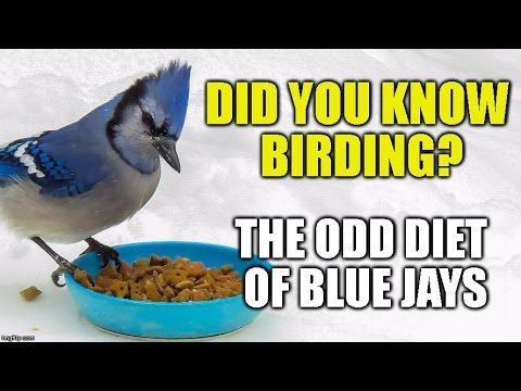 The Odd Diet of Blue Jays -Did you Know Birding?(episode 1) [HD]