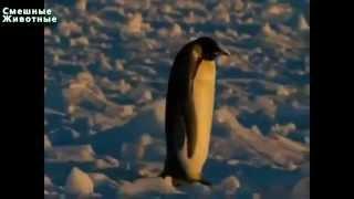 Смешные пингвины Лучшее видео