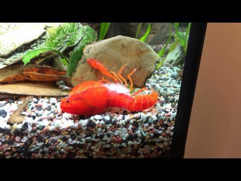 Crayfish Molting