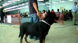 Rottweiler Vs Doberman (cdo Fiesta Dog Show Aug. 27, 2011)