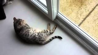 Silver Bengal Cat Chirping