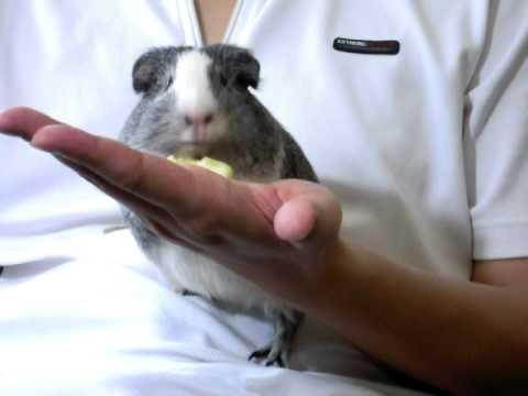 嚼嚼嚼的灰灰 (huiniuni- Guinea pig/cavy)
