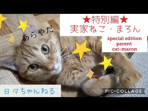 実家ねこ!まろんさん【特別編】 Cute Cat