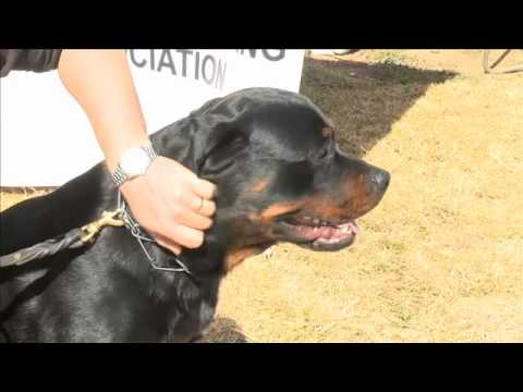Rottweilers: What it takes to be a good Rottweiler - see these guard dogs in action on Dog TV