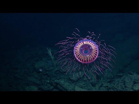 A Burst Of Deep Sea Fireworks: Halitrephes Jelly | Nautilus Live