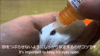 ハムスターの目薬のさし方(ポテチの場合) How to put in eye drops for hamster thumbnail
