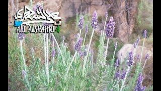 معلومات عن شجرة الضرم العطرية الشبيهة بـ ( اللافندر ) Lavender