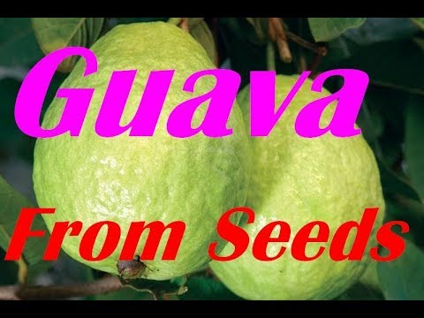 How To Germinate Guava Seeds Grow Your Own Trees And Fruits