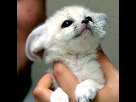 Fennec Fox Compilation - Funny And Cute #fennecfoxes