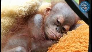Emergency appeal for Didik the baby orangutan