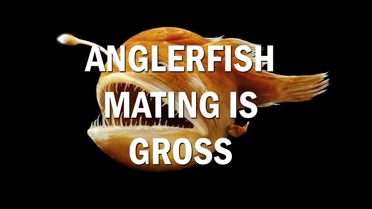 Anglerfish Mating Is Pretty Gross  Guys