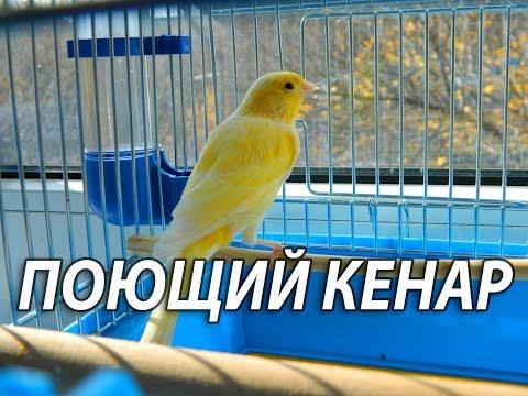 А Вы когда нибудь видели как поёт канарейка? Пение канарейки.